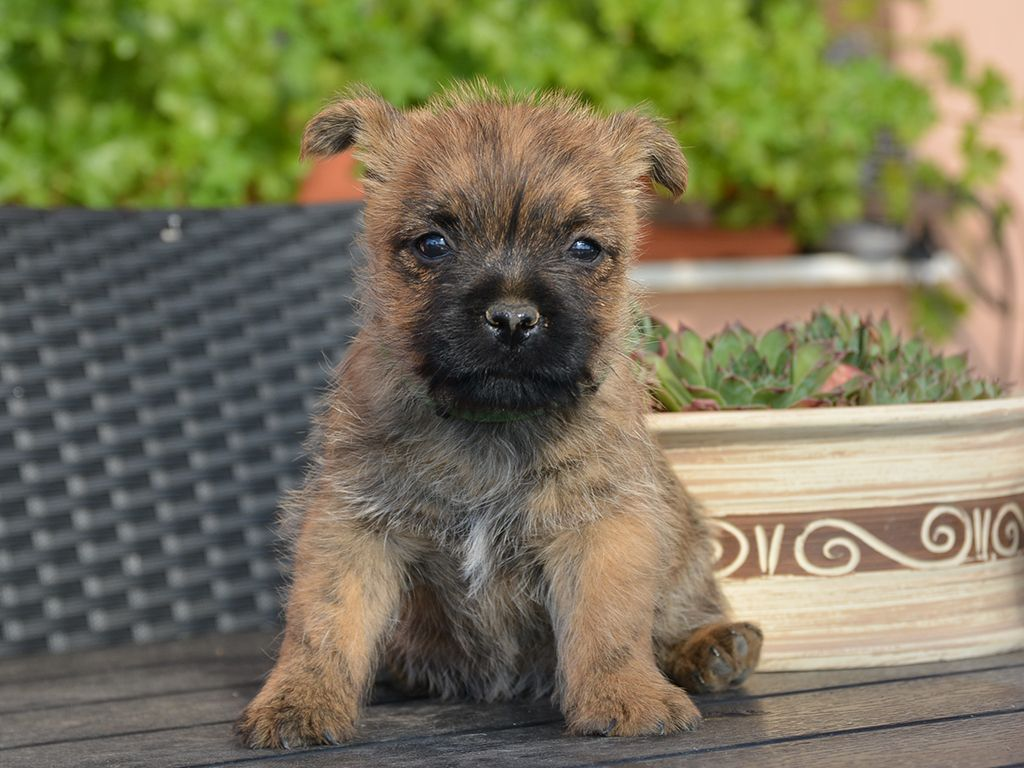 Cairn Terrier Cairn Terrier Cairn Terrier Puppies Terrier Puppies
