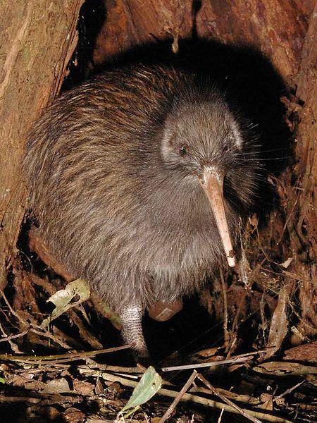 10 Best Zoos In The World | Kiwi, Kiwi bird, Flightless bird