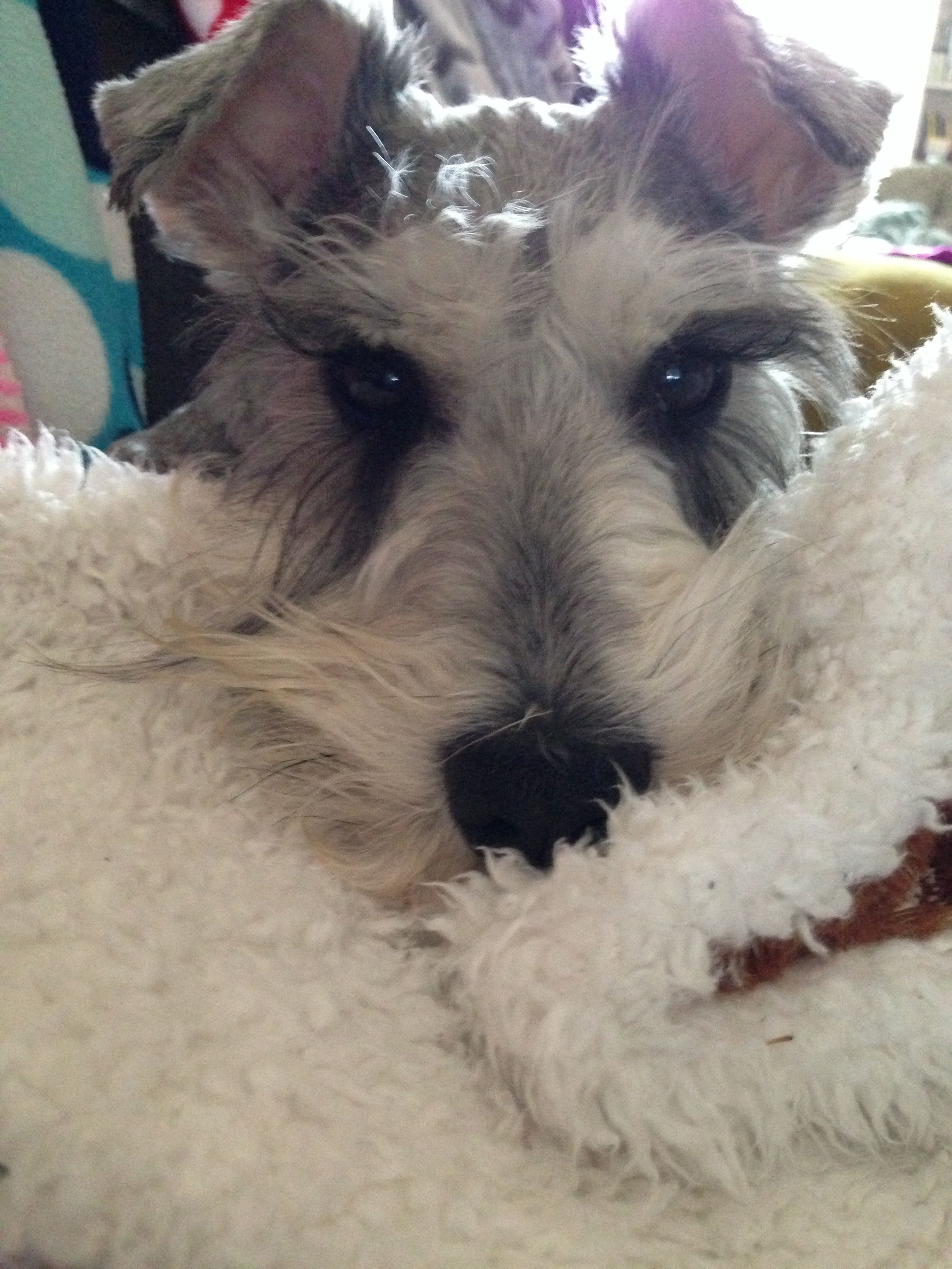 Klaus The Rescue Schnauzer Loves His Snuggly Blankets Check Out Mini Schnauzer Rescue Of North Texas That S Where We Fou Mini Schnauzer Schnauzer Love Pet