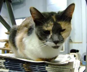 Adopt Mustard On Short Hair Cats Humane Society Adoption