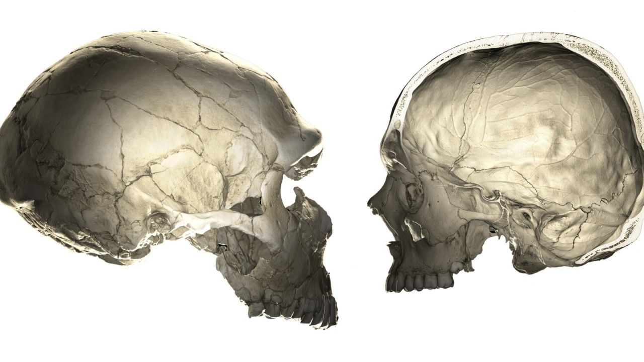 Human Versus Neandertal Braincase Neandertaler Das Erbe Der Moderne Mensch