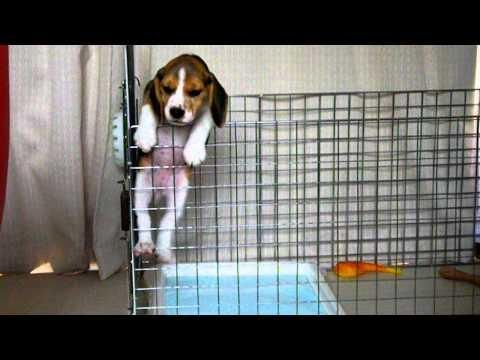 Beagle Puppy Tries To Escape Beagle Puppy Beagle Buddies Cute