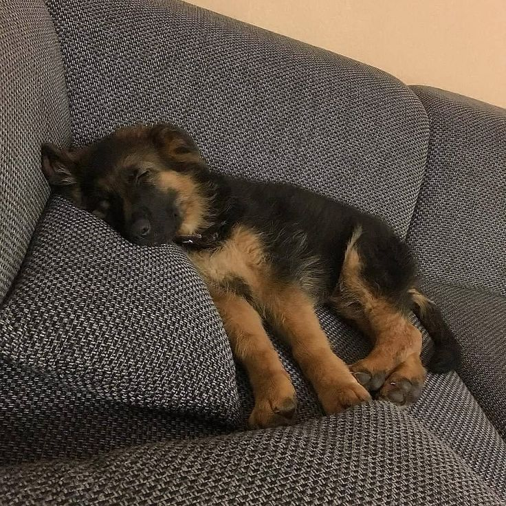 Sweet Little German Shepherd Puppy In Its New Favorite Spot