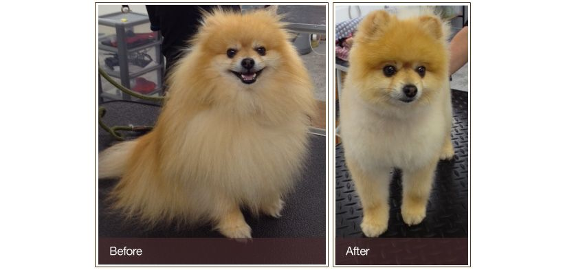 Pomeranian Puppy Boo Haircut - Goldenacresdogs.com