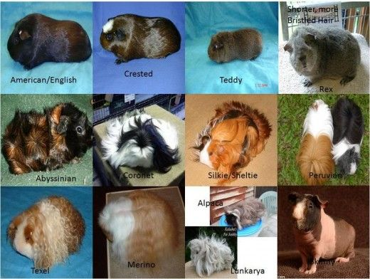 All About Caring for Your Guinea Pig Guinea pig breeding