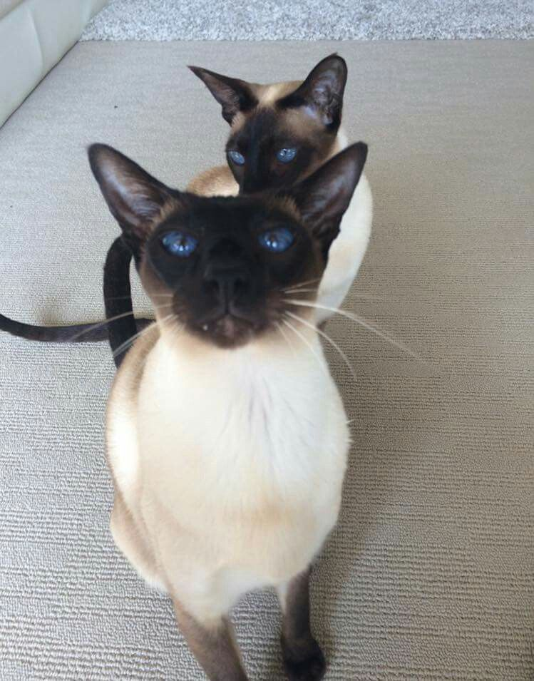 Pin By Nancy Meager On If You Please Siamese Cats Cute Animals
