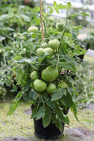 Container Patio Mega Bite F1 Tomato Seeds