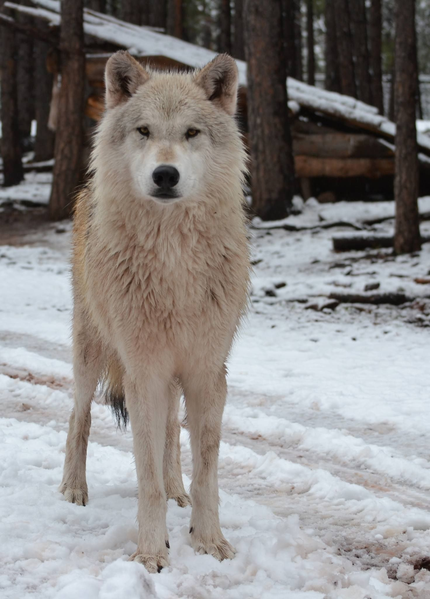 Alaskan tundra wolf wolves and lycan pinterest for Jenni wolf