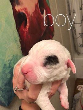 Litter Of 4 Dogo Argentino Puppies For Sale In Buckner Ar Adn 49977 On Puppyfinder Com Gender Male Age 1 Week Old Puppies For Sale Puppies Dogo Argentino