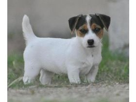 Adorable Jack Russells Puppies For Sale In London For Sale In City Of London Used Second Hand Dogs For Jack Russell Puppies Jack Russell Cute Dogs And Puppies