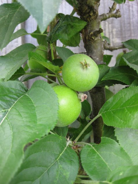 These microtrees will produce normalsized apples the