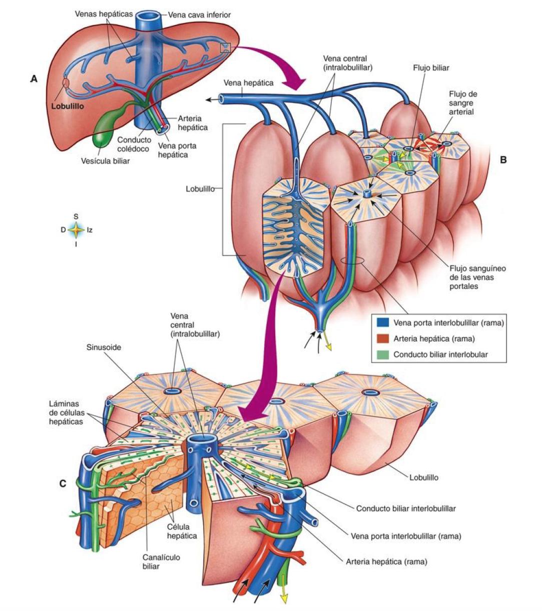 Visión escalonada de la arquitectura histológica del hígado ...
