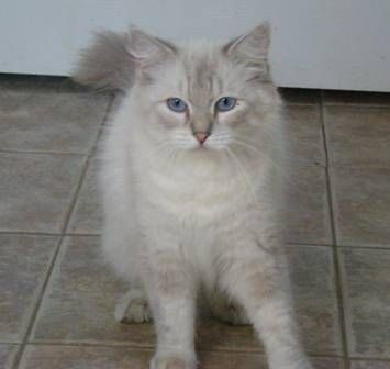ADULT PUREBRED FEMALE RAGDOLL CAT AVAILABLE FOR ADOPTION
