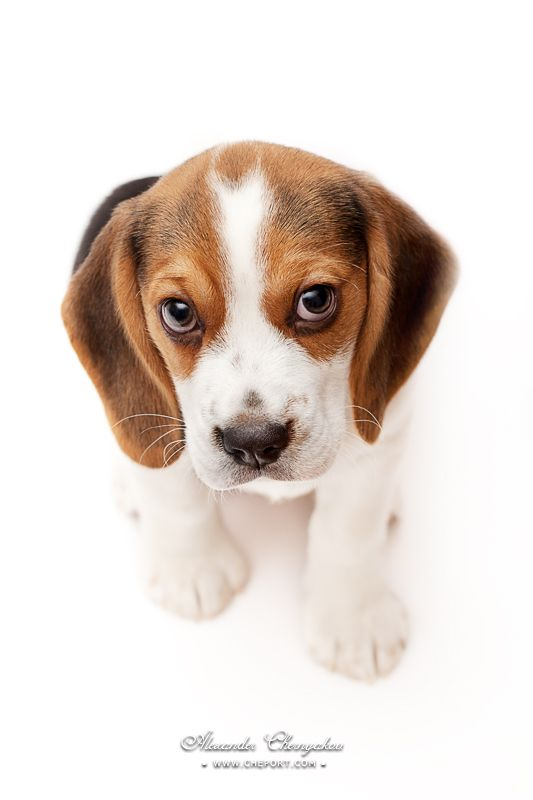 How To Train A Beagle Breed Characteristics Of Beagles Beagle