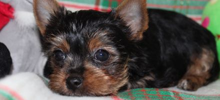 Buying Your Puppy Yorkie Puppies Panama City Fl Puppies Yorkie Puppy