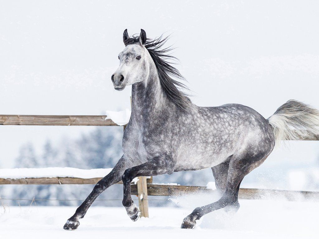 Arabian Horse In Winter Horses Horses Horse Behavior