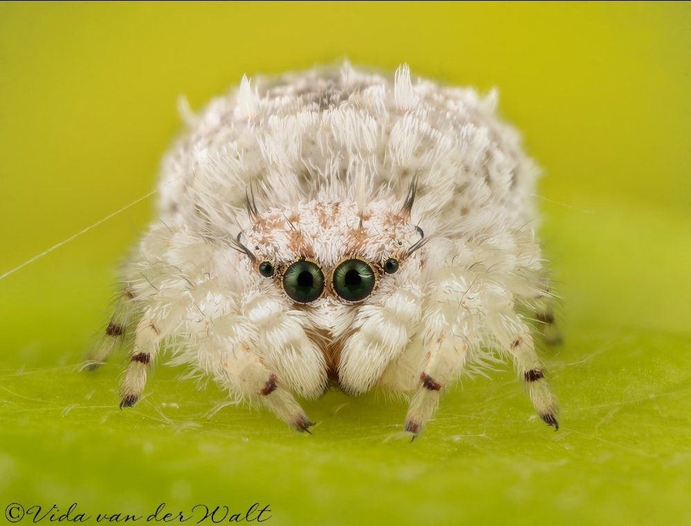 Mikko Kolkkala on | animals | Jumping spider, Spider, Cool