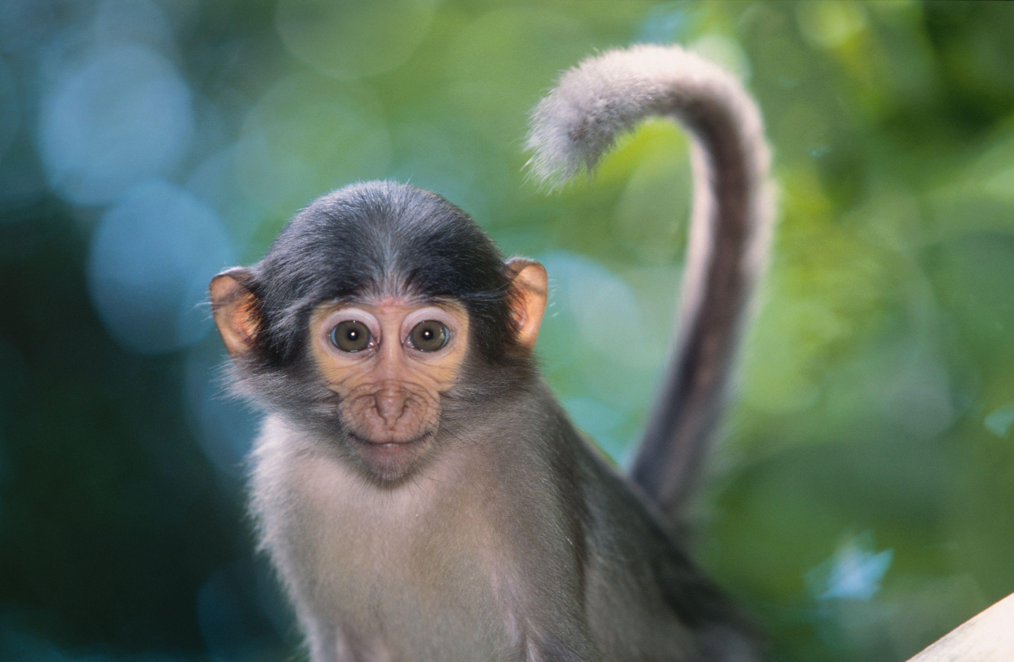 Monkey category nature album monkey tags monkey indian
