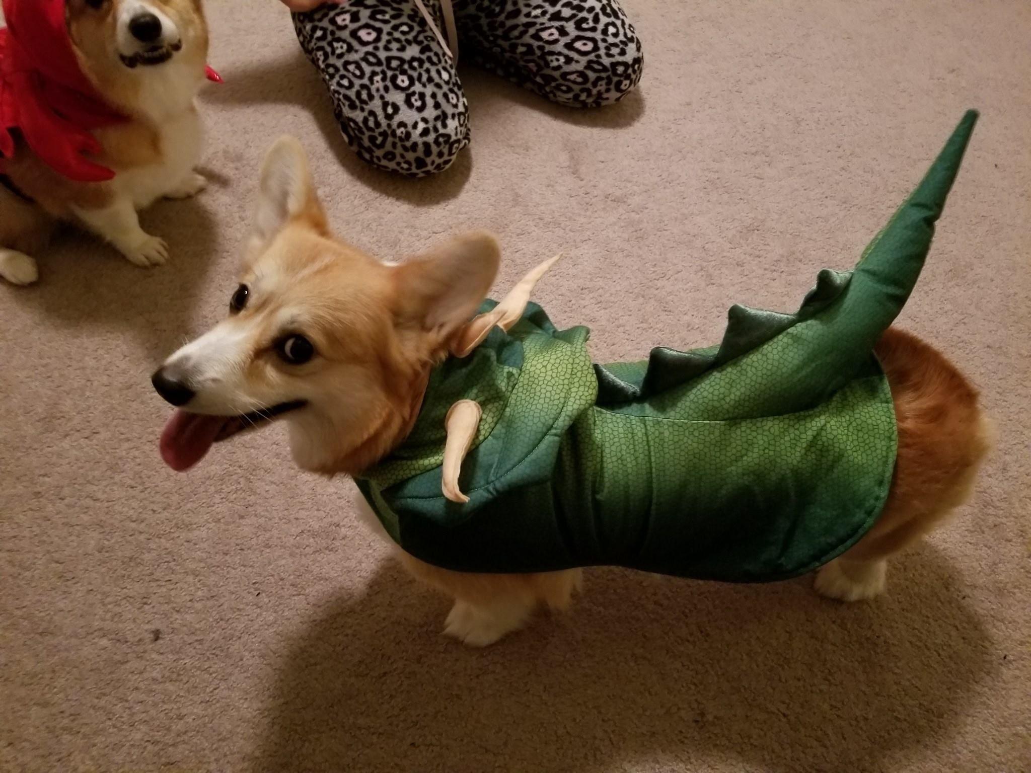 Foxy In Her Dragon Halloween Costume Corgi Corgis Corgicostume