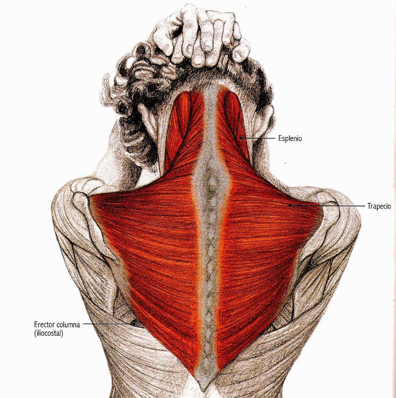 estiramientos de espalda y cuello - Buscar con Google | Anatomía del ...