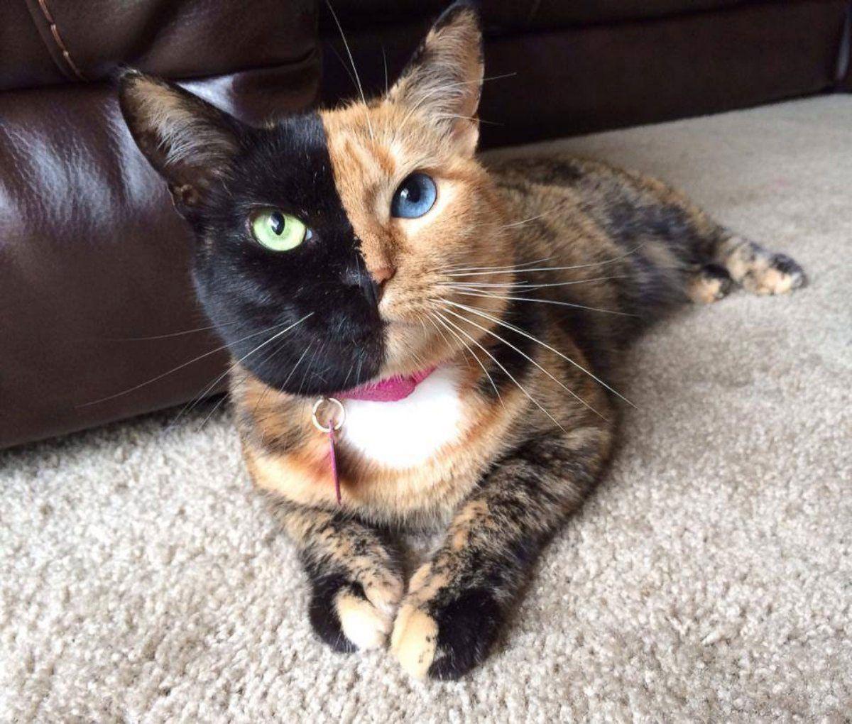 21 chats devenus de véritables célébrités sur internet grâce à leur  apparence aussi étonnante que mignonne