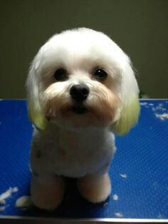 Cute Maltese Witg Rounded Muzzle And Dyed Ear Tips Japanese Dog