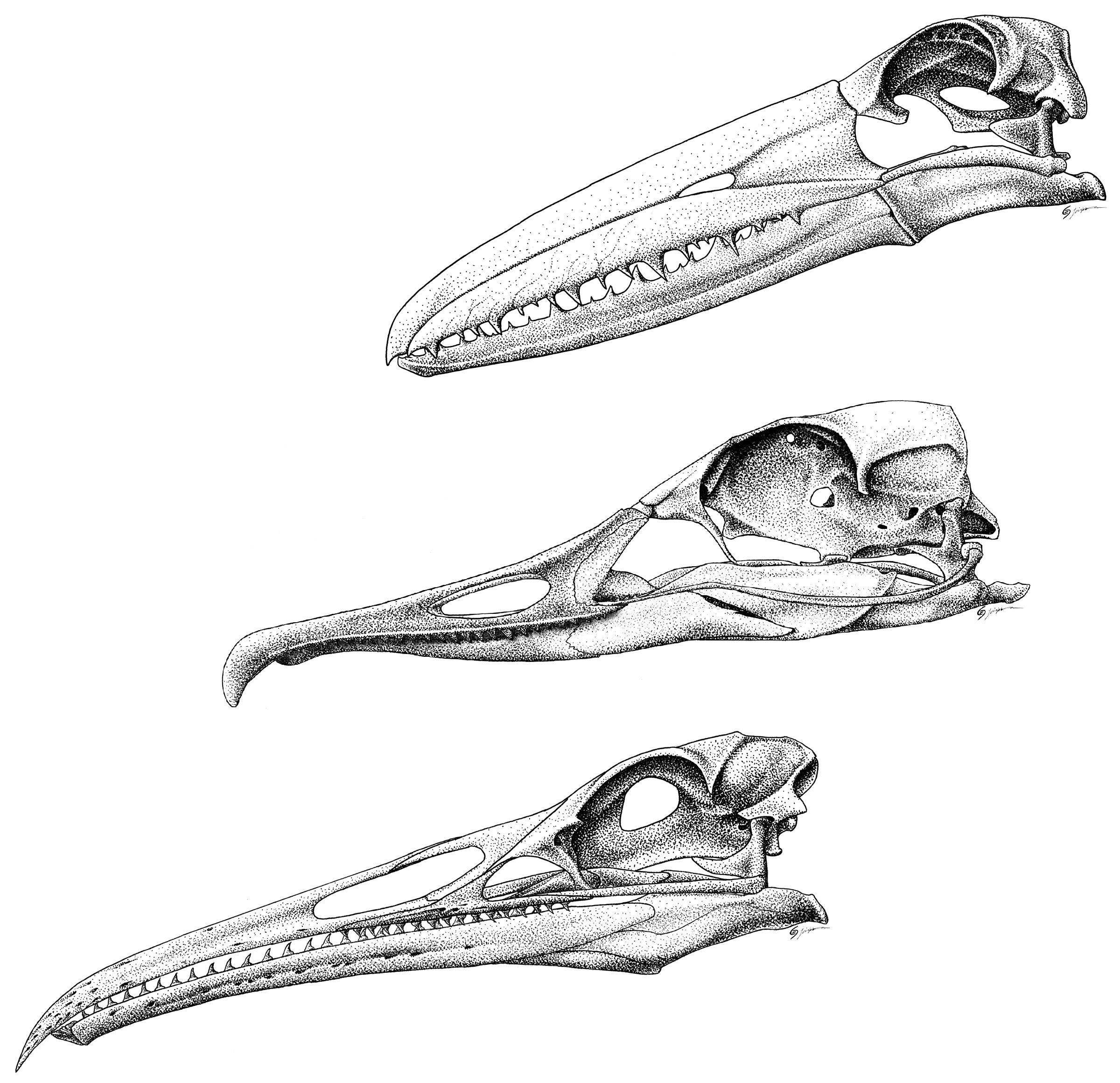 skulls-of-toothed-birds.png (2400×2320) | Birds | Pinterest ...
