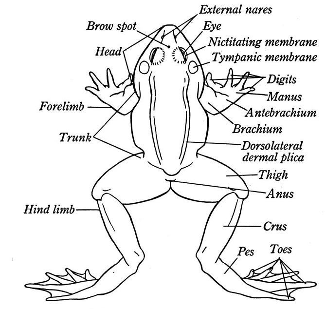 what are frog name of frogs body part – Frog Anatomy Worksheet
