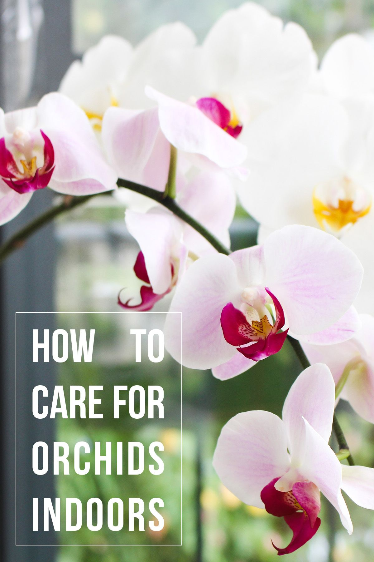 How To Care For Orchids Indoors Indoor Orchids Orchid Care