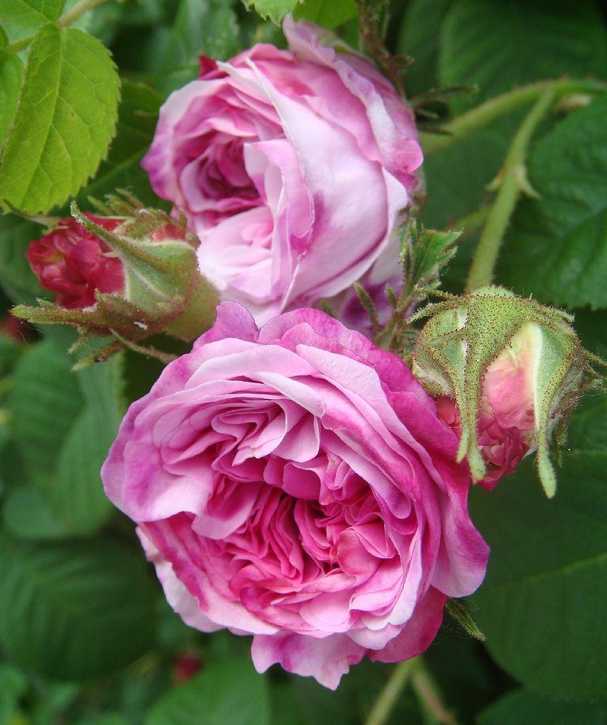 die besten 25 damask rose ideen auf pinterest rose. Black Bedroom Furniture Sets. Home Design Ideas