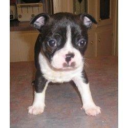 Sandy S Kennels Boston Terrier Boston Terrier Breeders Kennel