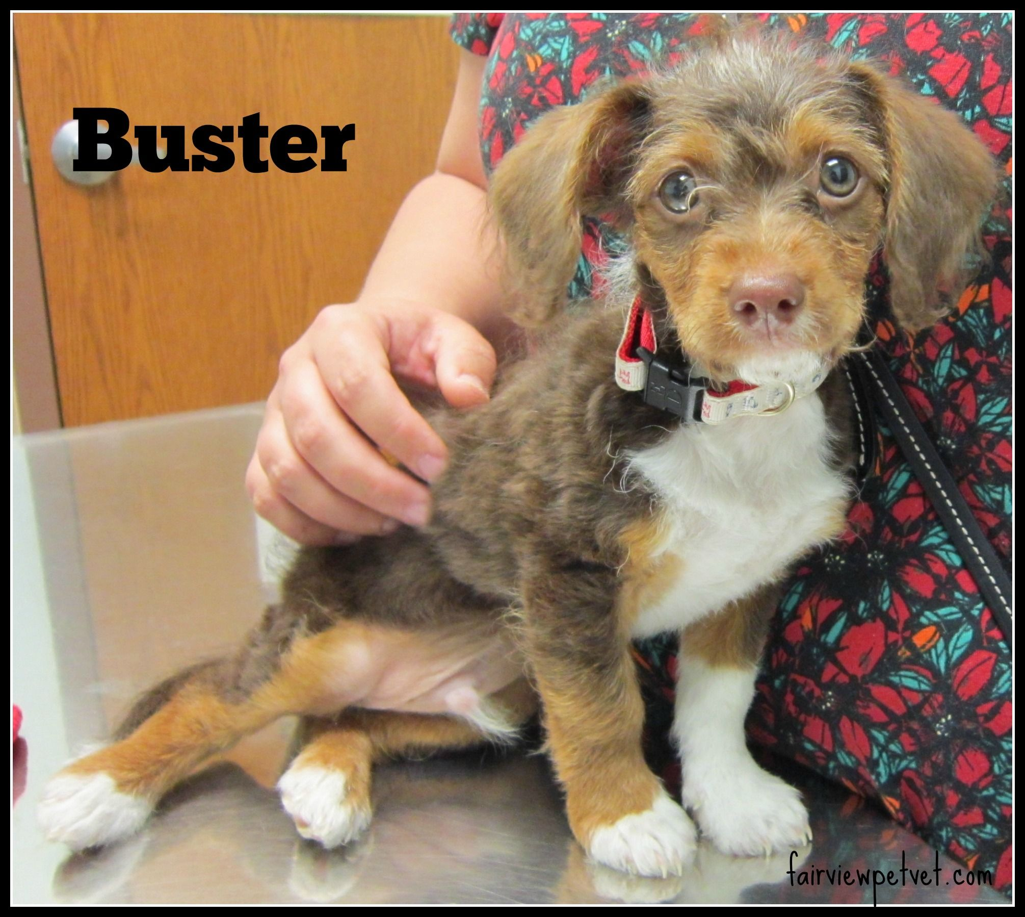Cute little Buster, part Yorkie and part Dachshund