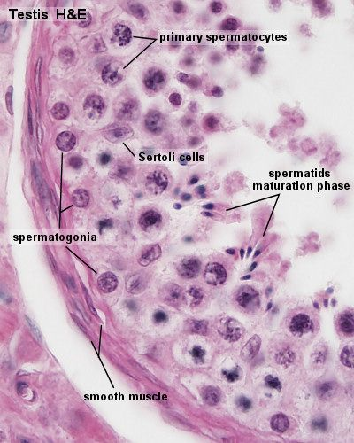 Male Reproductive Testis Seminiferous Tubule Anatomy Lab 2