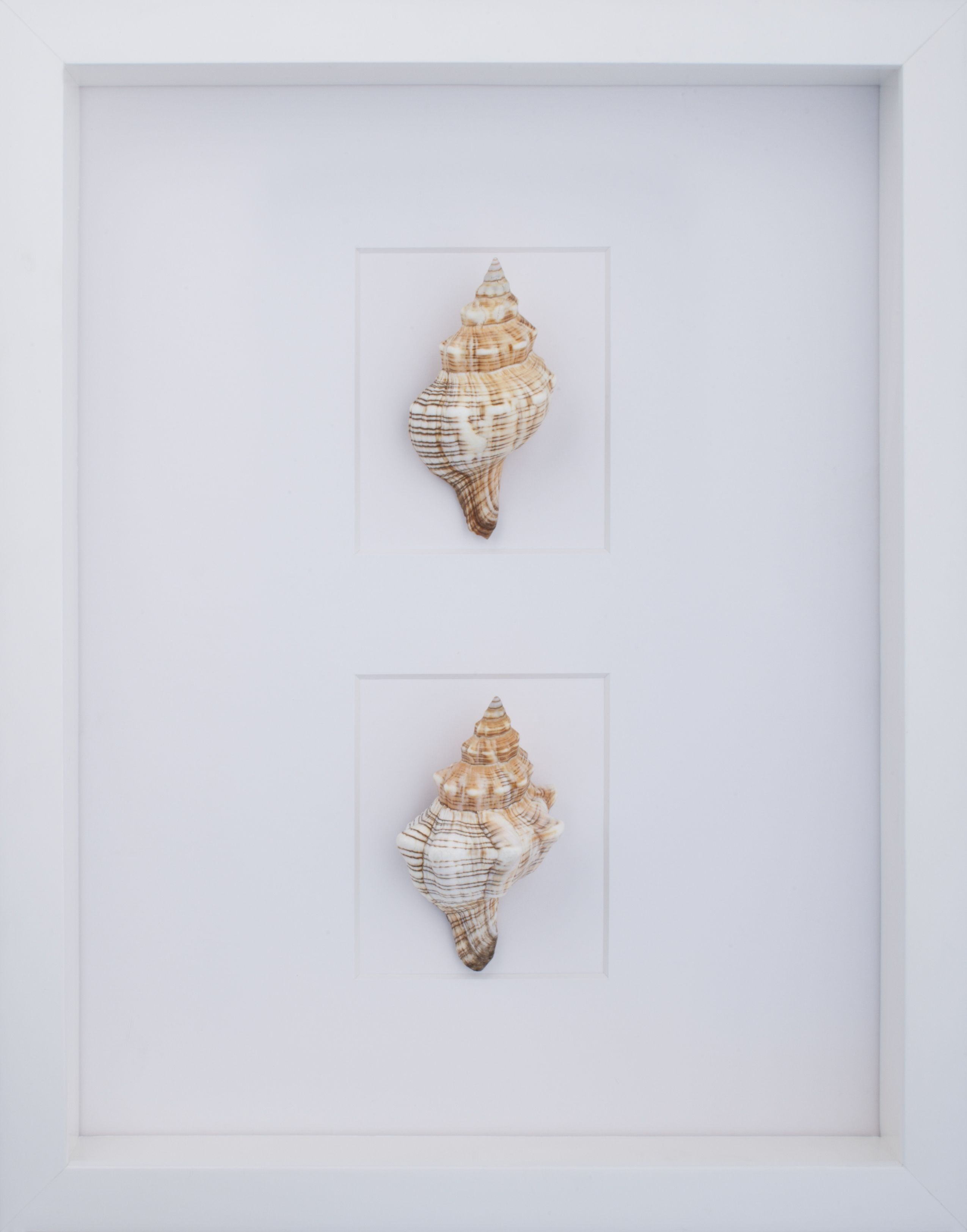conch shell wall art with white shadow box frame from wwwwellappointedhousecom