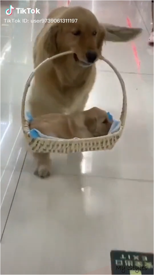 Golden Retriever Videos Funny Hilarious Games Quotes In 2020 Cute Funny Animals Cute Baby Animals Funny Animal Videos