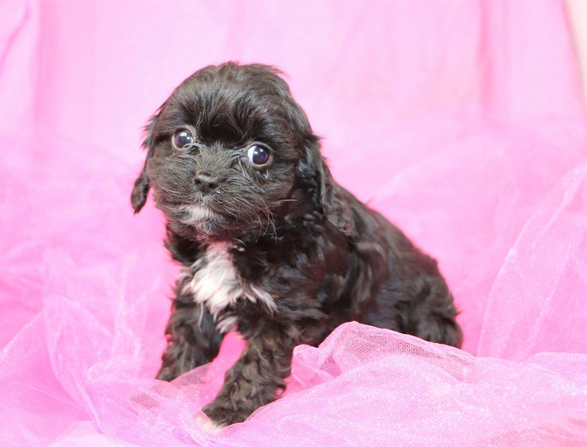 Lively Female Cavapoo Puppy Cavapoo Puppies For Sale Cavapoo Puppies Dog Breeder
