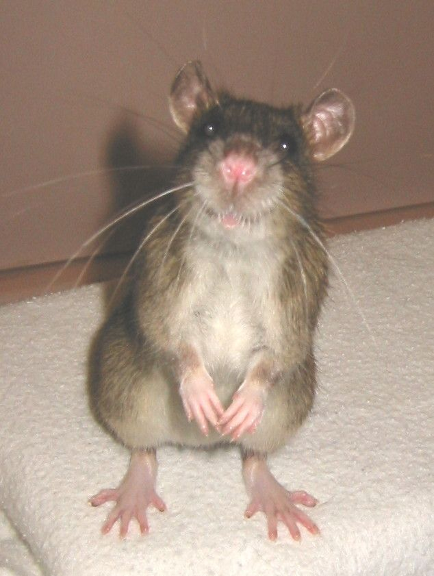 mice feet   Brown, ticked ship rat with oatmeal belly, standing on hind legs