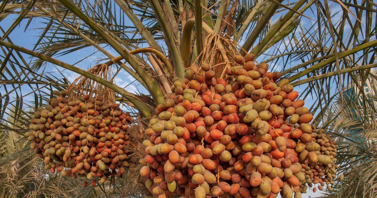 أصل نخيل التمر Agriculture Fruit Apple