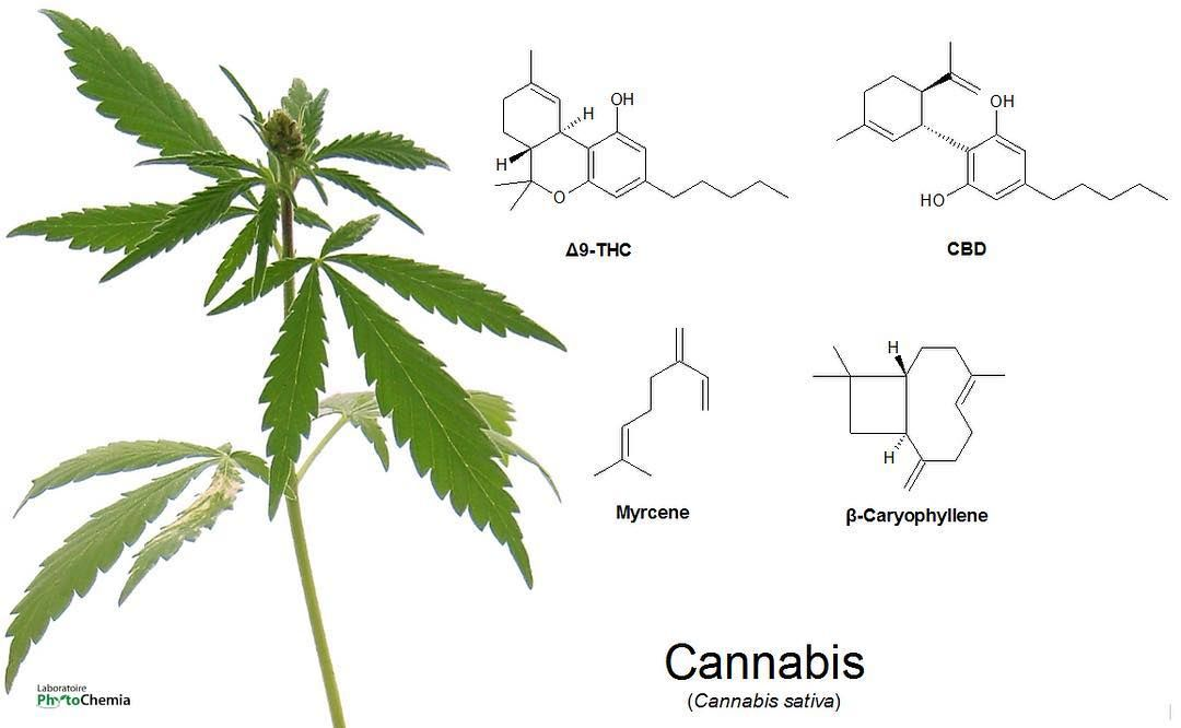 Non-volatile compounds in cannabis are part of the cannabinoids