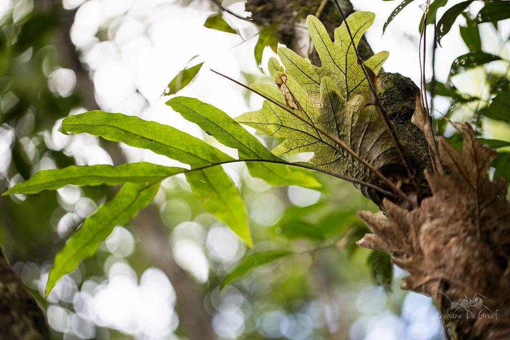 https://flic.kr/p/q1u8Ye | Drynaria quercifolia