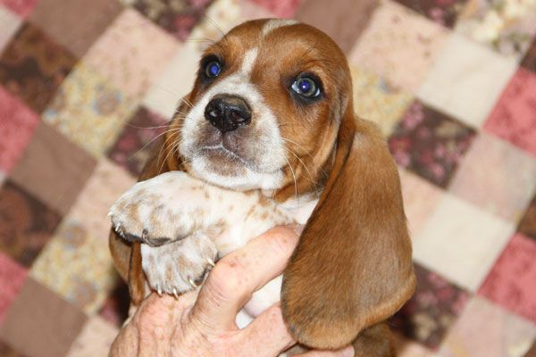 Four Weeks Old Already Melting Hearts Basset Puppies Basset