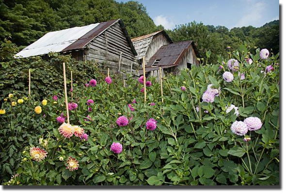 Barns and dahlias; it's a rural thing.... - Blue Ridge blog.