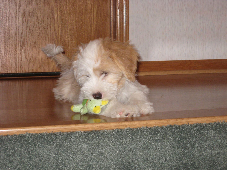 Tibetan Terrier Puppies For Sale Minneapolis Mn Tibetan Terrier Terrier Puppies Puppies For Sale