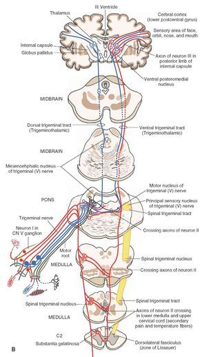 The Cranial Nerves Organization Of The Central Nervous System Part