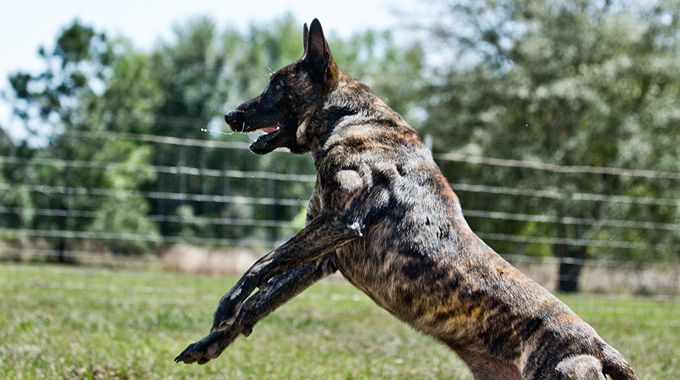 Knpv Dutch Shepherd Police Dog Malinois Puppies For Sale