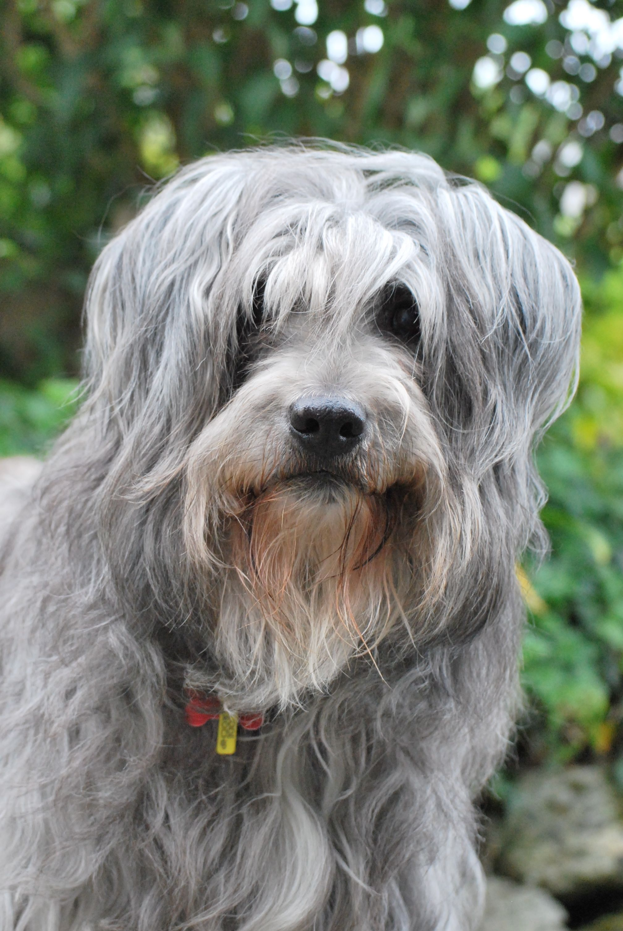 Bearded Collie Dog Breed Information Bearded Collie Dog