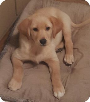 Carsonville Mi Golden Retriever Labrador Retriever Mix Meet