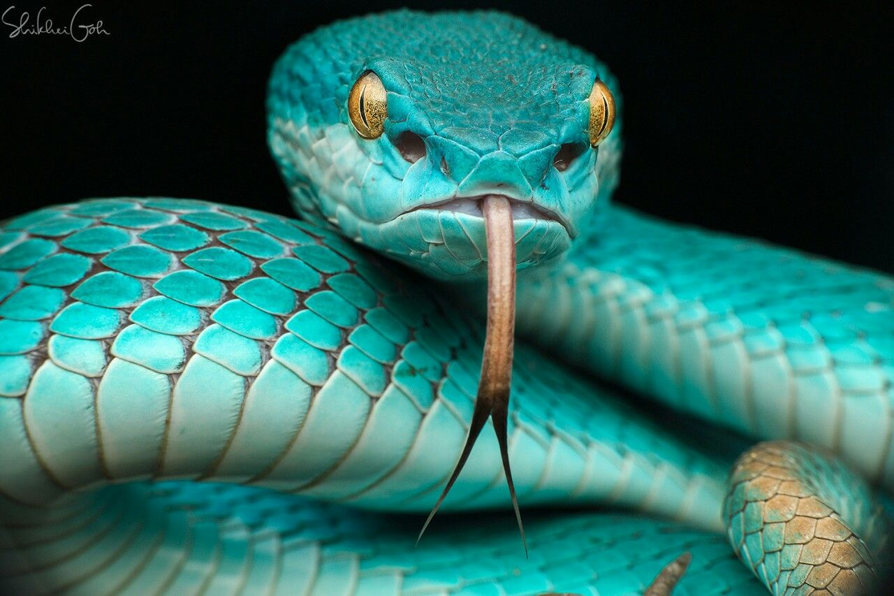 Pit viper snake wallpaper - photo#47