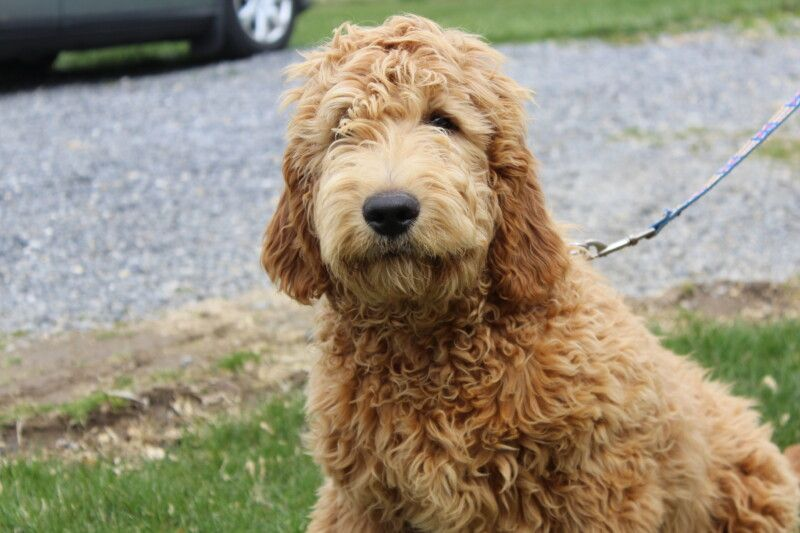 Golden Retriever Puppies For Sale In Cleveland Ohio Ideas