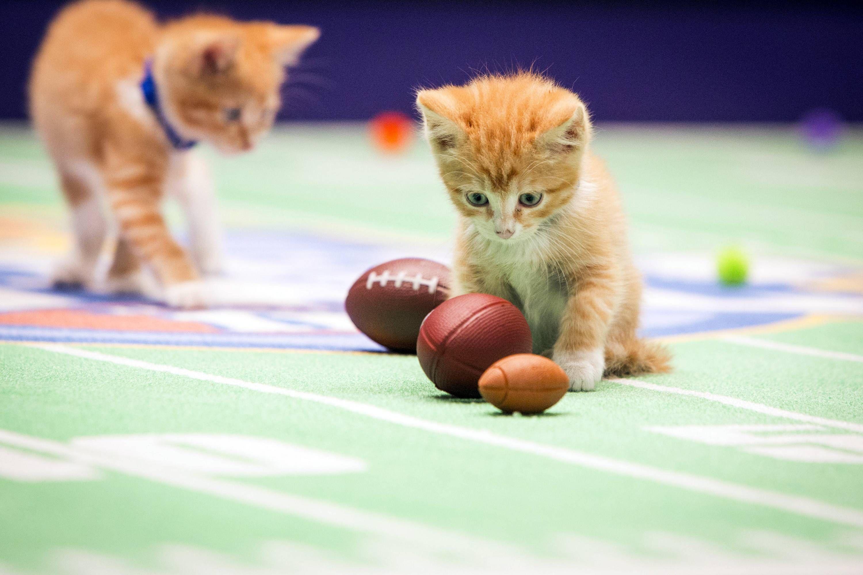 Hallmark Channel S Kitten Bowl Teams Vie For Purring Rights Kitten Bowls Kitten Puppy Bowls